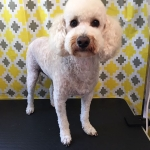 dog-grooming-bayside-melbourne-gallery-51