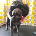 dog-grooming-bayside-melbourne-gallery-63